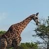 Giraffe, morning game drive