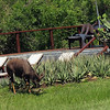 A Nyala visits the pool while Brian watches