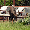 A Nyala visiting the pool - Phinda Zuka Lodge
