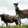 Blue Wildebeest and Zebra