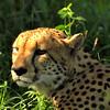 Phinda Cheetah, early morning