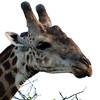 Phinda Giraffe