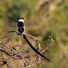 Pintailed Whydah