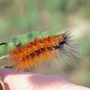 Phinda caterpillar