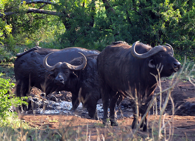 Water Buffalos wallowing