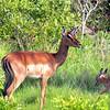 Phinda Impala