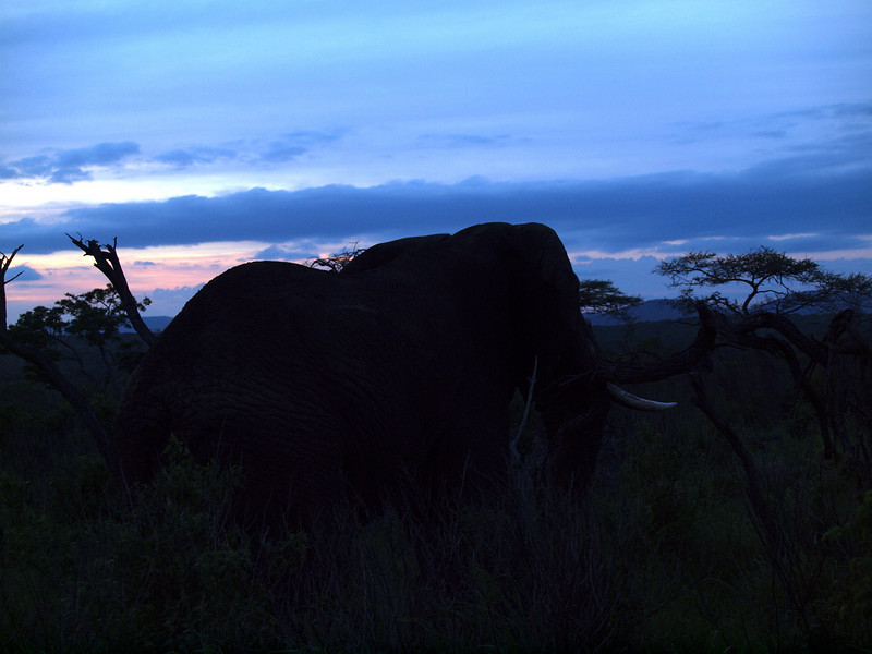 Elephant at dusk, Phinda Reserve