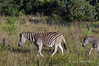 Zebra-&-baby-1