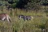 Zebra-&-baby-2