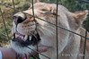 Young-lioness-enjoying-a-neck-scratch