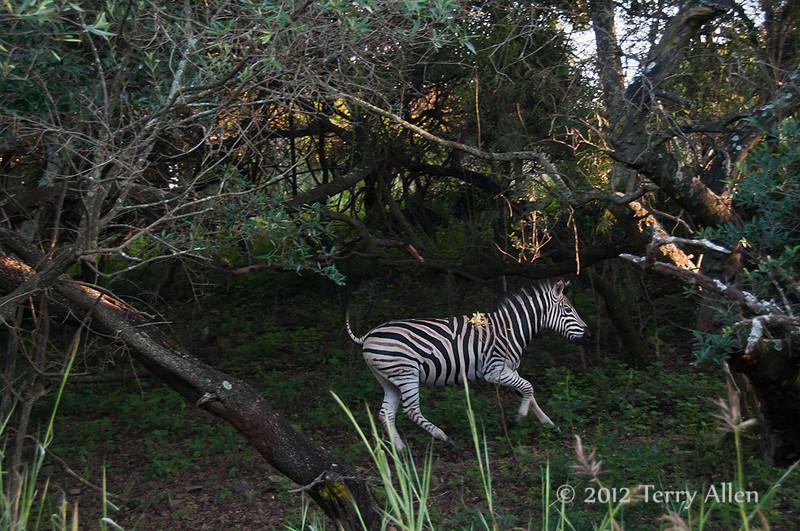 Running-zebra