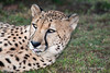 Resting-cheetah, close-up