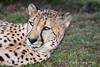 Resting-cheetah, close-up