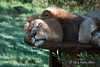 Male-lion resting on cable drum-2