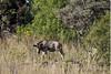Wildebeest-calf