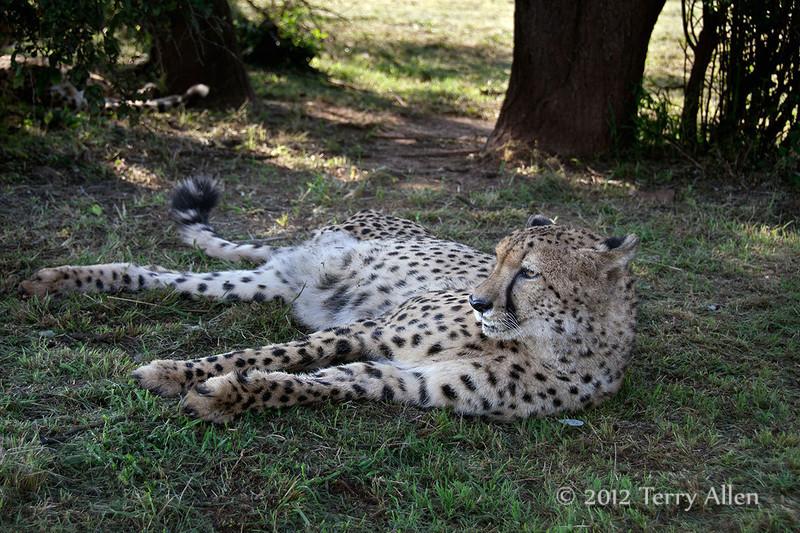 Cheetah-5
