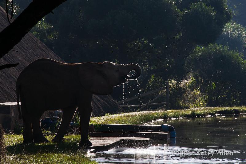 Baby-elephant-drinking