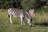 Two-zebras