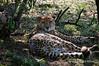 Cheetah-3
