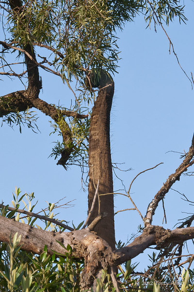 Elephant-trunk-reaching-up-into-tree