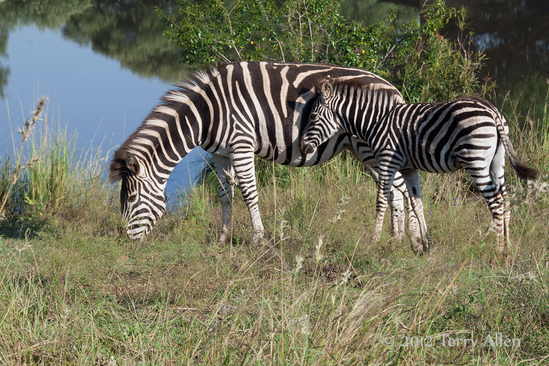 Young-zebra-&-mother-by-water
