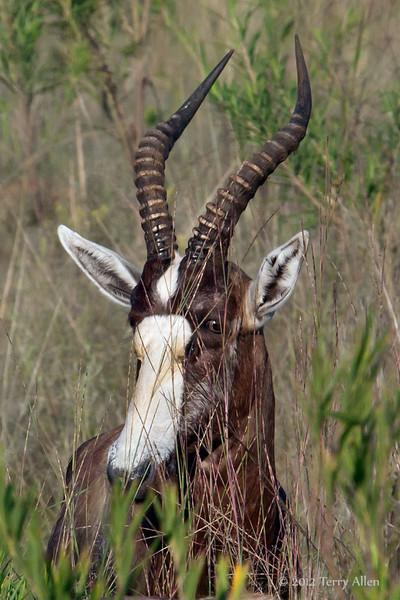 Blesbok-face-&-horns