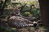 Cheetah-4