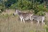 Zebra-&-baby-3