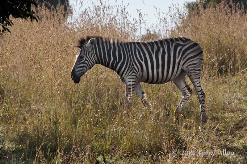 Zebra-in-grass