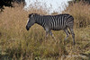 Zebra-in-grass