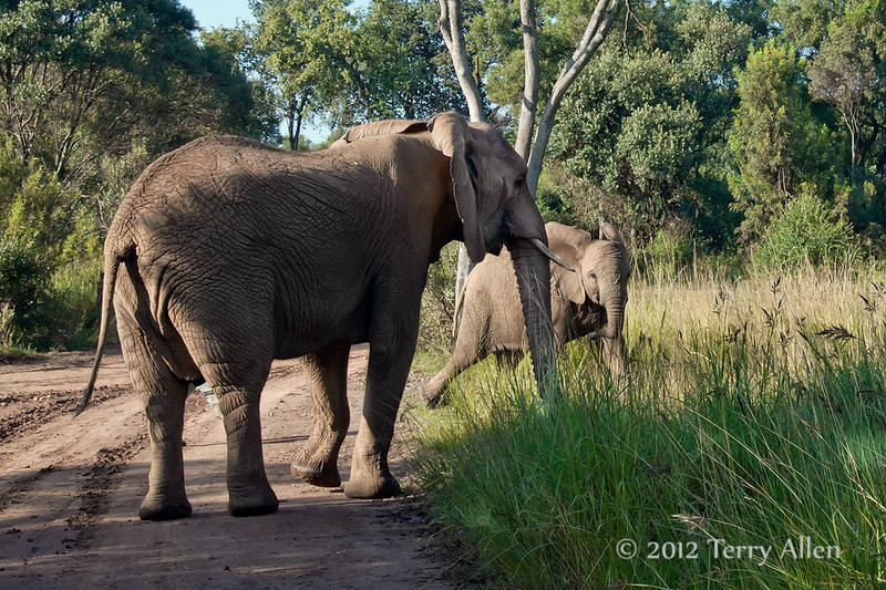 Mother-elephant-&-running-baby