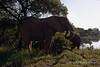 Elephant-eating-by-lake