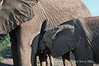 Baby-elephant-with-mother, nursing