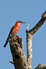Southern carmine bee-eater (Merops nubicoides), Botswana