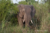 Elephant-in-tall-grass