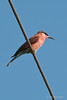 Southern-carmine-bee-eater-2