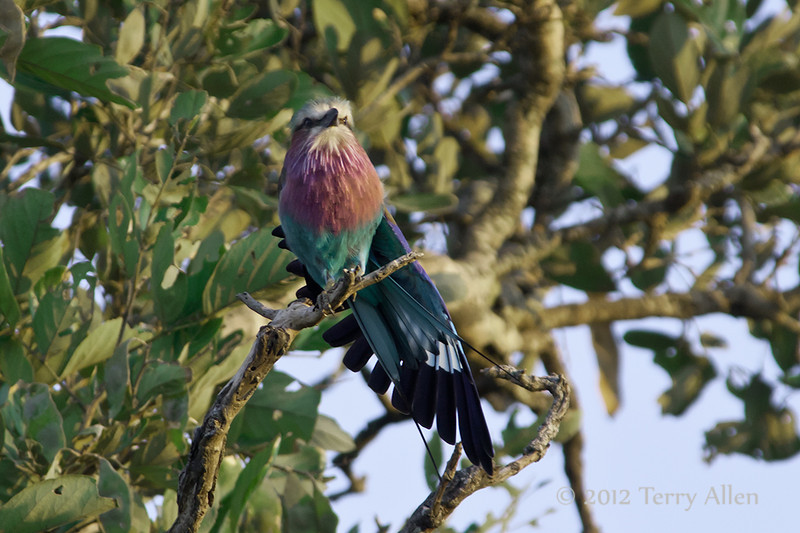 Lilac-breasted-roller-3