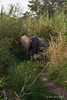 Baby-elephant-in-tall-grass