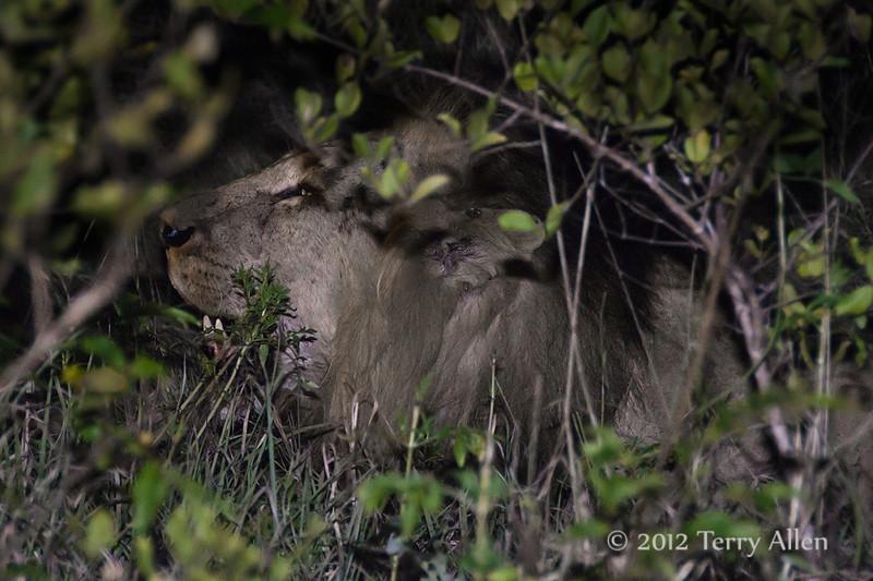 Night-lion-2
