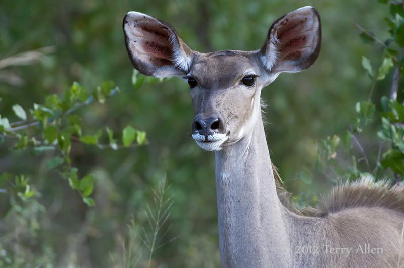 Kudu-female-3