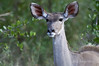 Kudu-female-3
