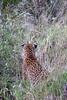 Leopard-stalking-3