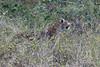 Leopard-stalking