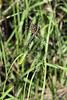 Golden-orb-spider-2