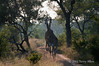Giraffe-pair-2