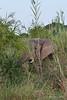 Elephant-feeding-in-tall-grass