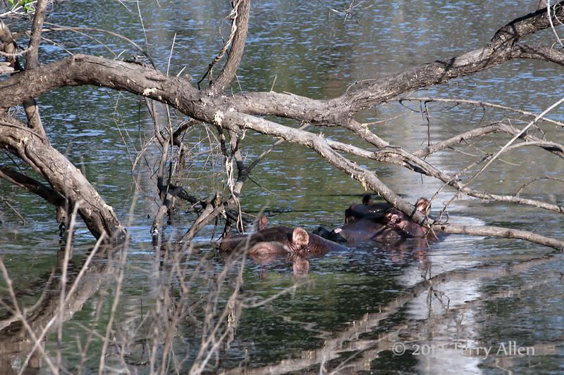 Hippo babies-under-dead-tree
