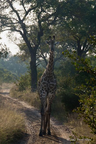 Giraffe-at-dawn