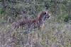 Leopard-stalking-2