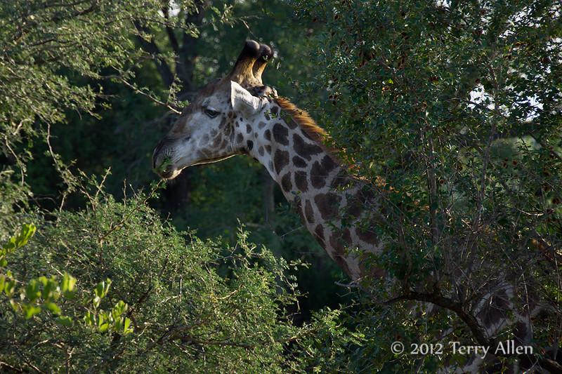 Giraffe-eating-acacia